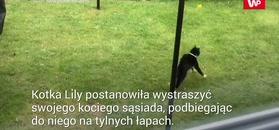Kotka kontra kot. Zabawne nagranie właściciela