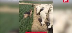 Psy pilnują owce. Zabawne nagranie