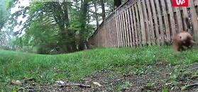 Wiewiórka kontra lis. Zobacz, jak to się skończyło