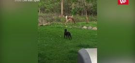 Labrador chciał się bawić. Zobacz reakcję jelenia