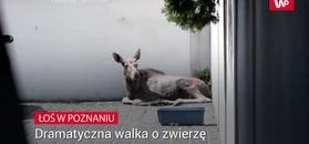 Zobaczyli na ulicach dzikie zwierzę. Na miejsce natychmiast przyjechały służby