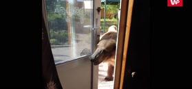 Głodny niedźwiedź domaga się przekąsek