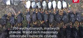 Masowa zagłada maskonurów. Ptaki kolejną ofiara kryzysu klimatycznego