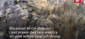 Niezwykłe znalezisko na Syberii. Ogromny wilk z plejstocenu