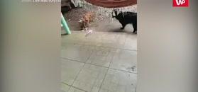 Psy rozprawiły się ze szczurem