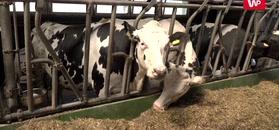 Nie tylko transport i przemysł. Krowy również odpowiadają za globalne ocieplenie