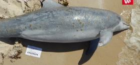 Ponad 200 martwych definów na plażach Zatoki Meksykańskiej