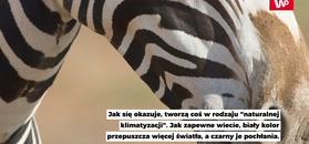 Dlaczego zebry mają paski? I tak nie zgadniesz