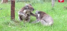 Walka rozgniewanych koali