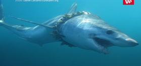 Wykańcza długo i podstępnie. Rekiny nie mają szans