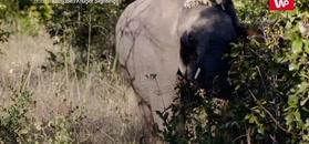 Lwica kontra młody słoń. Nagranie z safari