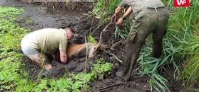 Jeleń w potrasku. Nagranie dramatycznej akcji ratunkowej z Nadleśnictwa Browsk