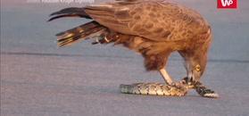 Orzeł przyłapany na jedzeniu węża