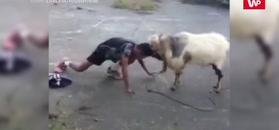 Człowiek kontra koza. Nagranie